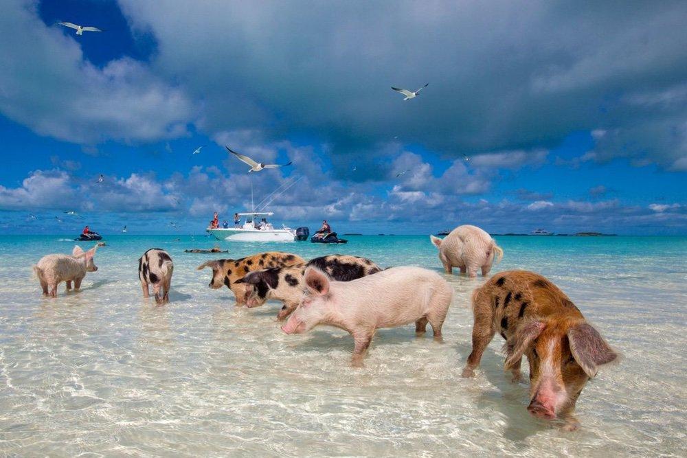 На фото – свиньи на пляже
